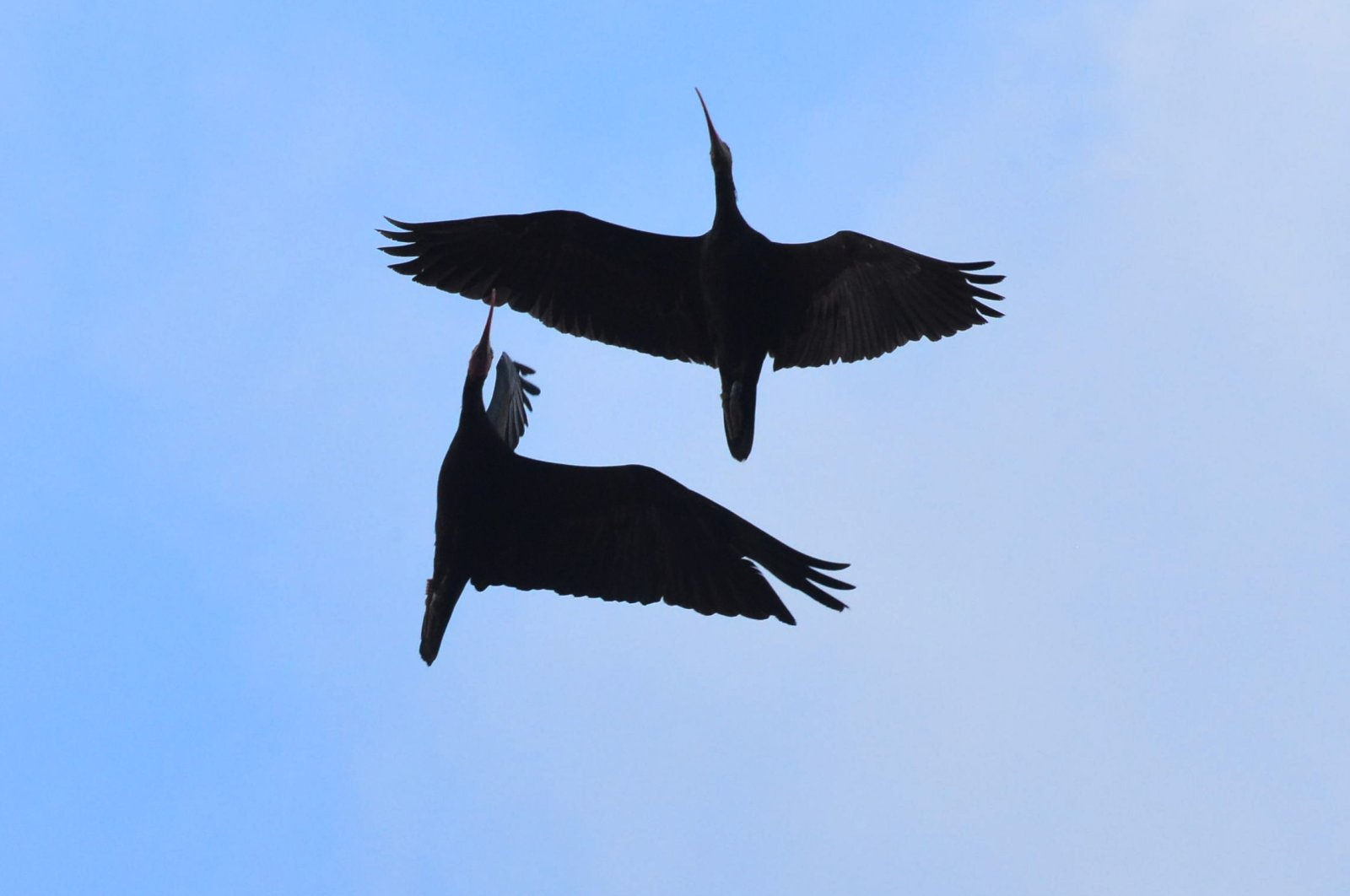 A couple of northern ibis birds are seen flying in the clear blue sky, Feb. 19, 2021. (AA Photo)