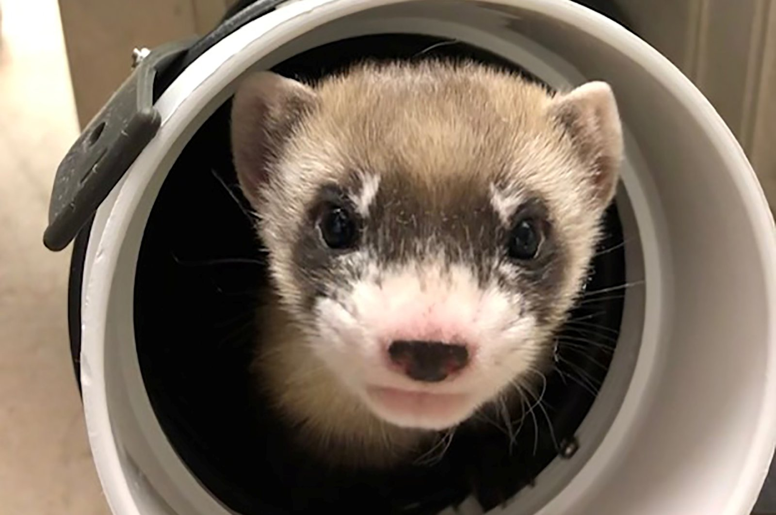 Elizabeth Ann, the first cloned black-footed ferret, pokes through a pipe at 50-days old at the USFWS National Black-footed Ferret Conservation Center near Fort Collins, Colorado, U.S., Jan. 29, 2021. (Reuters)