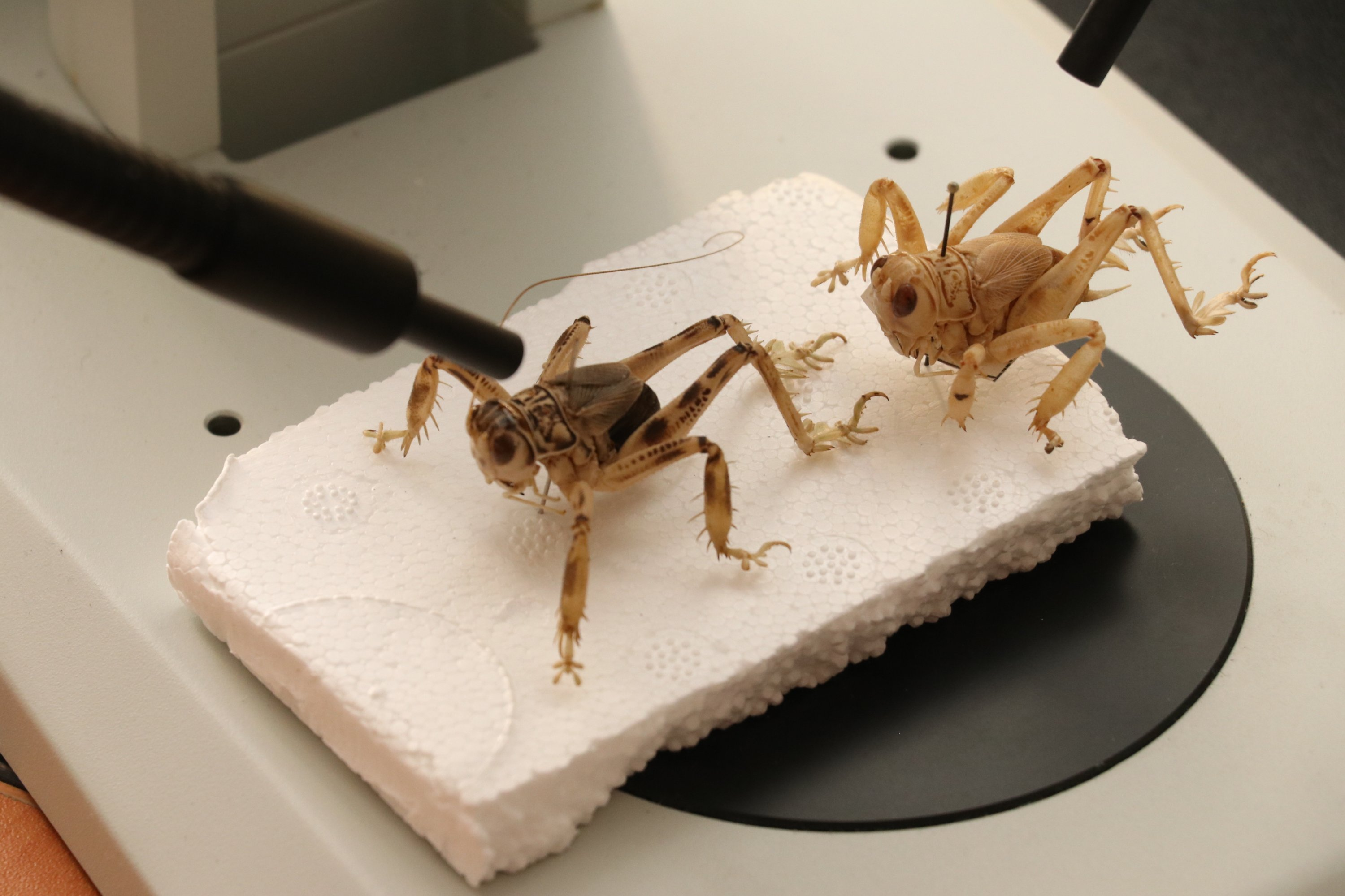 A couple of dune crickets stand under a microscope at a lab in the Isparta University of Applied Sciences, in Isparta, western Turkey, Feb. 23, 2021. (AA Photo)