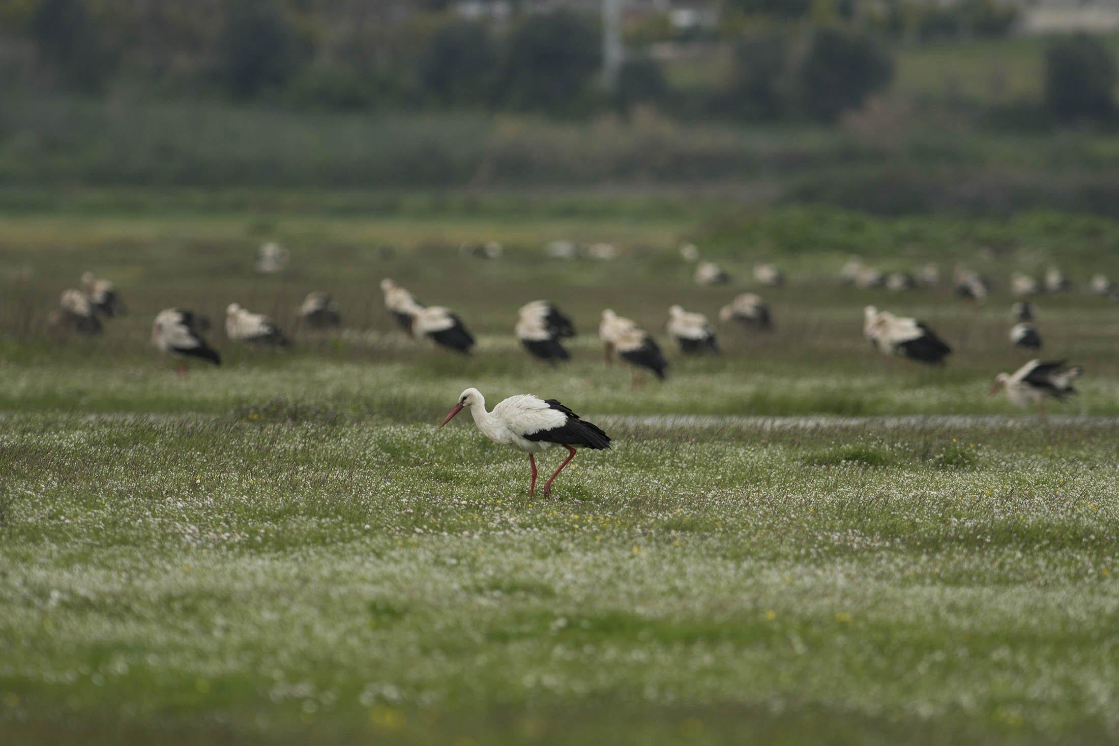 Şubat ayının son haftasında Türkiye'nin kuzeybatısındaki bursadaki bataklıklara leylekler karaya çıkmaya başladı.  (IHA fotoğrafı)