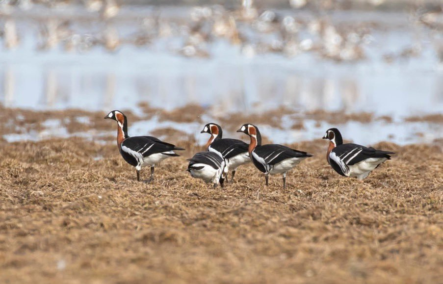 Originally a resident of Arctic Siberia, red-breasted Siberian gooses were spotted at the Kızılırmak Delta Bird Sanctuary on Feb. 19, 2021. (AA Photo)