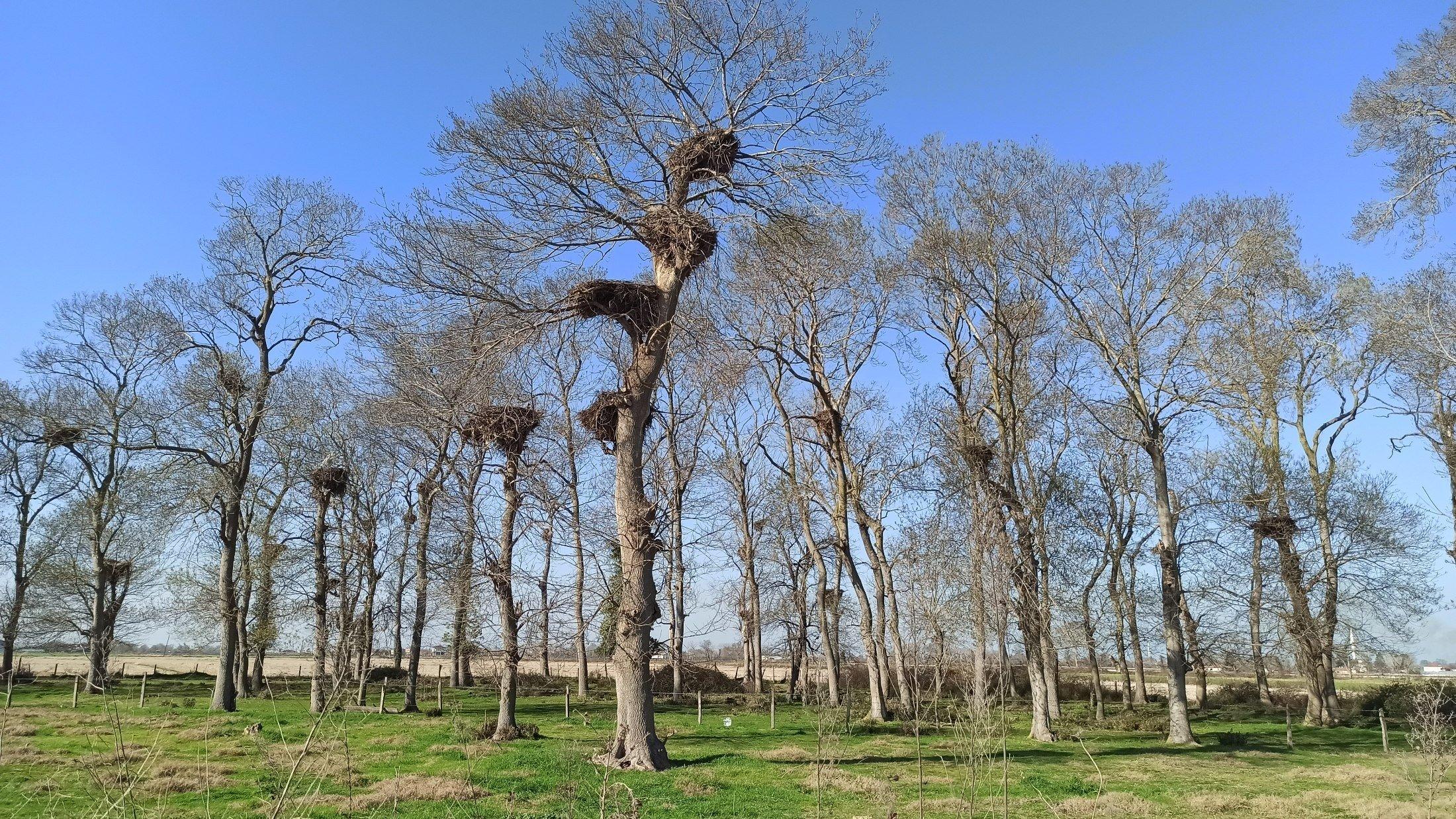 6 Şubat 2021'de Türkiye'deki Şimşon, Pafra ilçesindeki Leylek ormanında Ohoto tilkisinin ağlarını gösteriyor.  (IHA fotoğrafı)