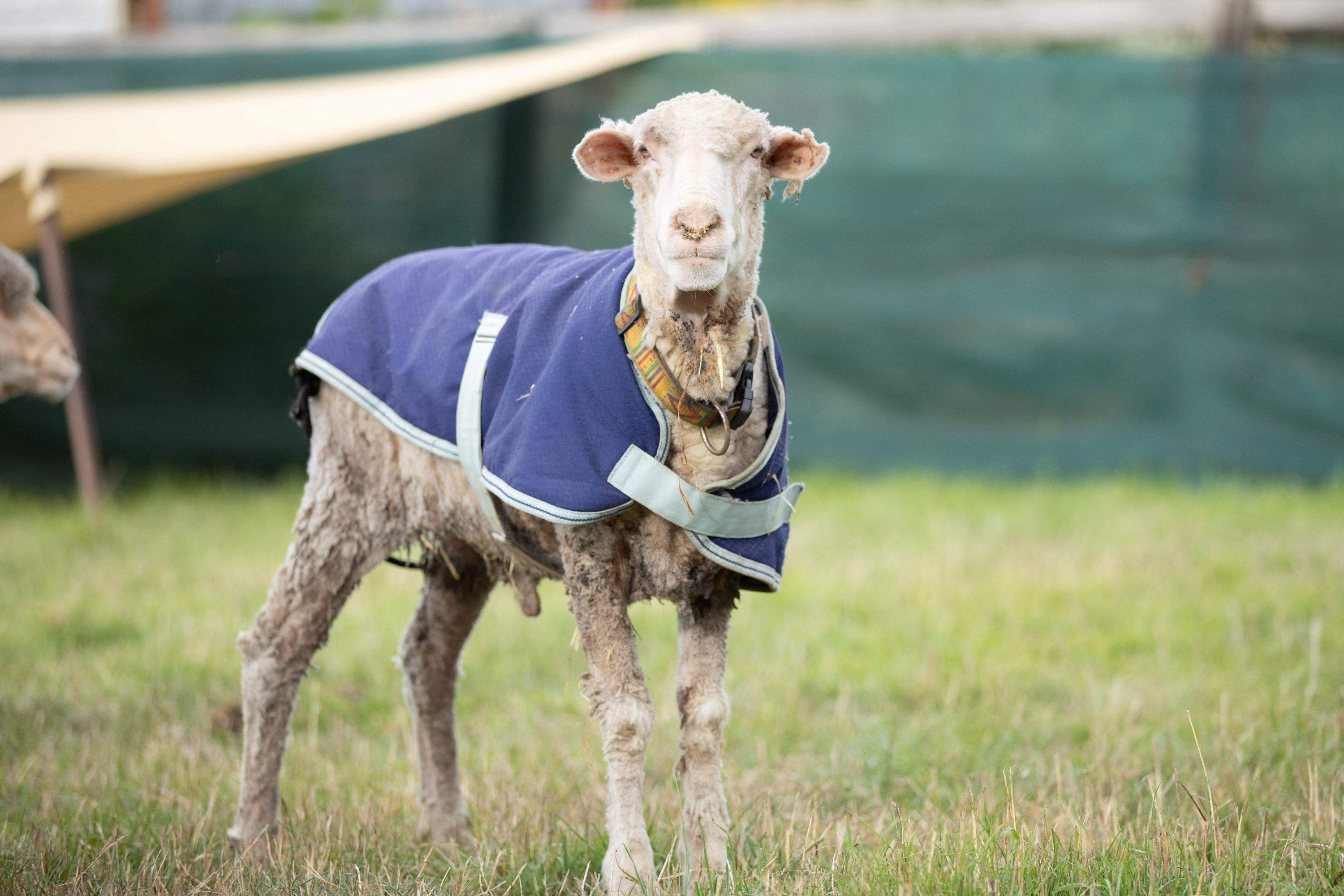 'Baarack' the sheep, can be seen at Edgar's Mission Farm Sanctuary after he was sheared, Lancefield, Victoria state, Feb. 25, 2021. (Edgar's Mission Handout via AFP)