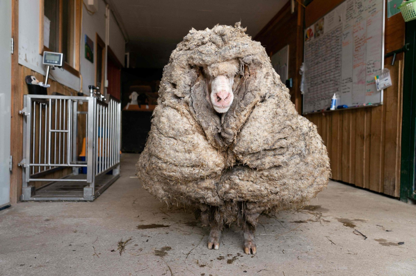 """""""Baarack"""", a wild sheep who was found with a huge 35-kilogram (77 lbs.) coat, can be seen at Edgar's Mission Farm Sanctuary in Lancefield, Victoria state, Feb. 25, 2021. (Edgar's Mission Handout via AFP)"""