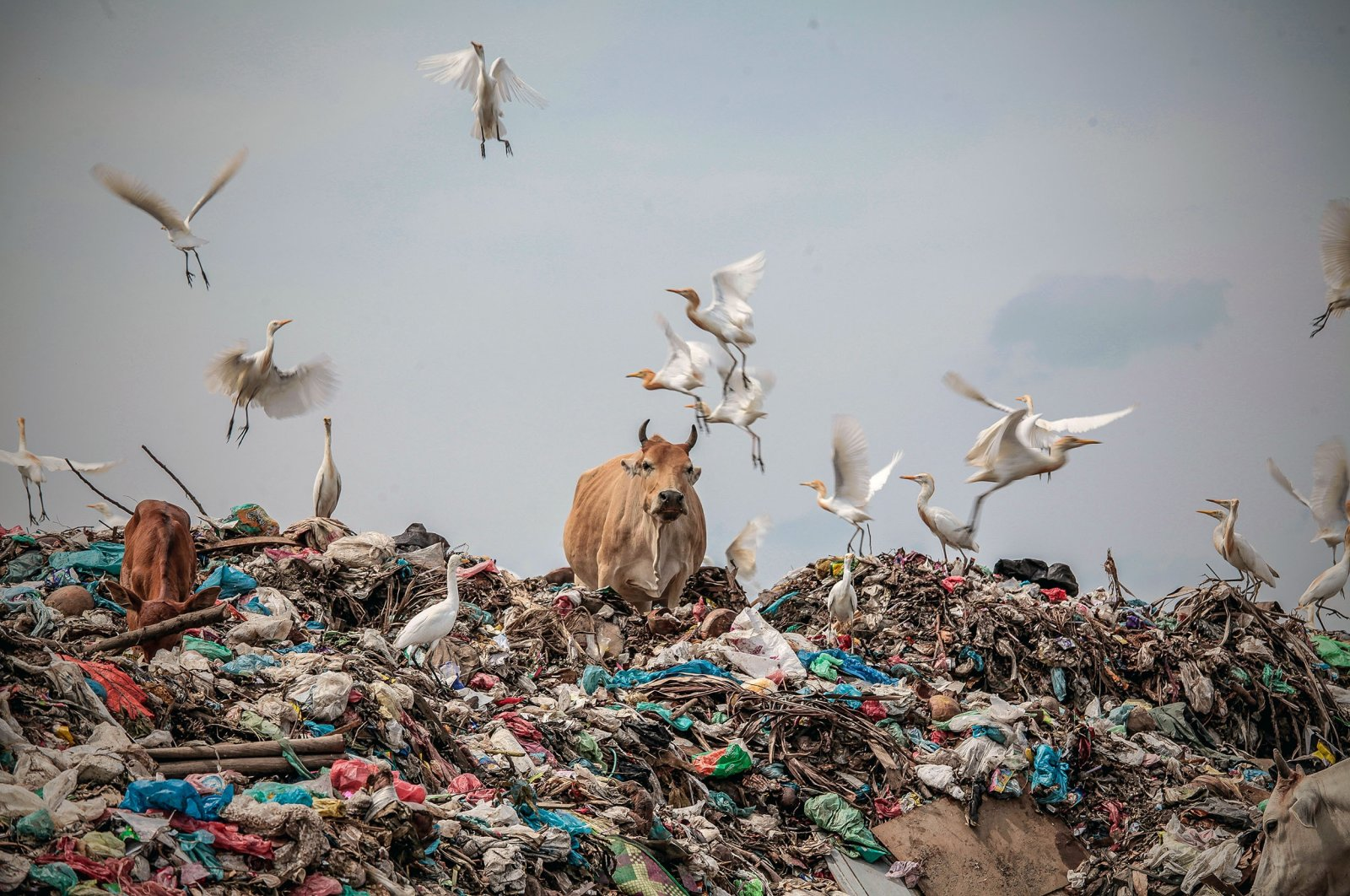 Cows play in a pile of rubbish at a landfill in Lhokseumawe, Aceh Province, Indonesia, Feb. 5, 2020. (Barcroft Media via Getty Images)