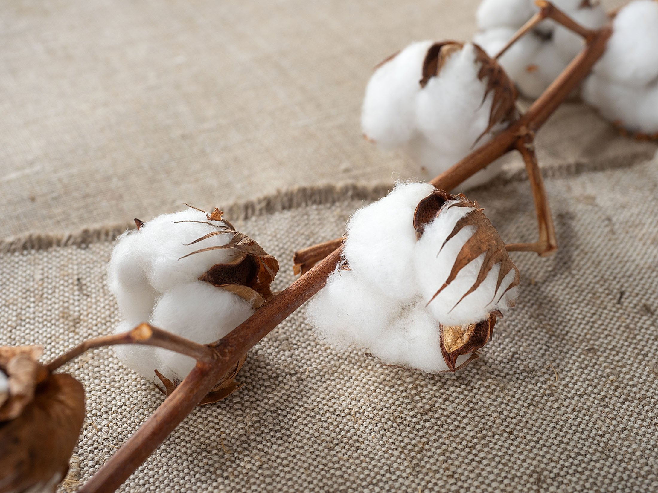 Made from the natural fibers of cotton plants, the fabric cotton is a biodegradable material. (Shutterstock Photo)