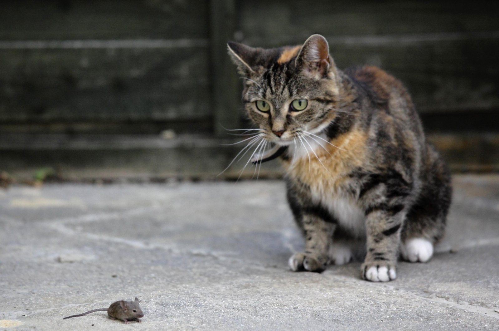 Jess, a seven-year-old female cat, looks on as a mouse runs by in a backyard in Gosport, England, July 29, 2011. (Reuters Photo)