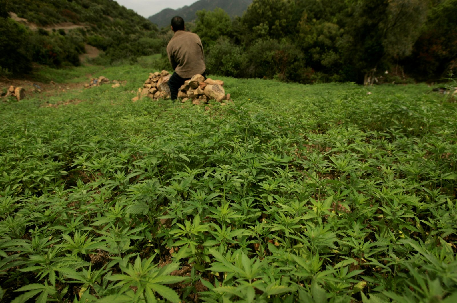 In this file photo, a farmer guards his plantation of cannabis near Chefchaouen, Morocco, March 27, 2008. (Reuters)