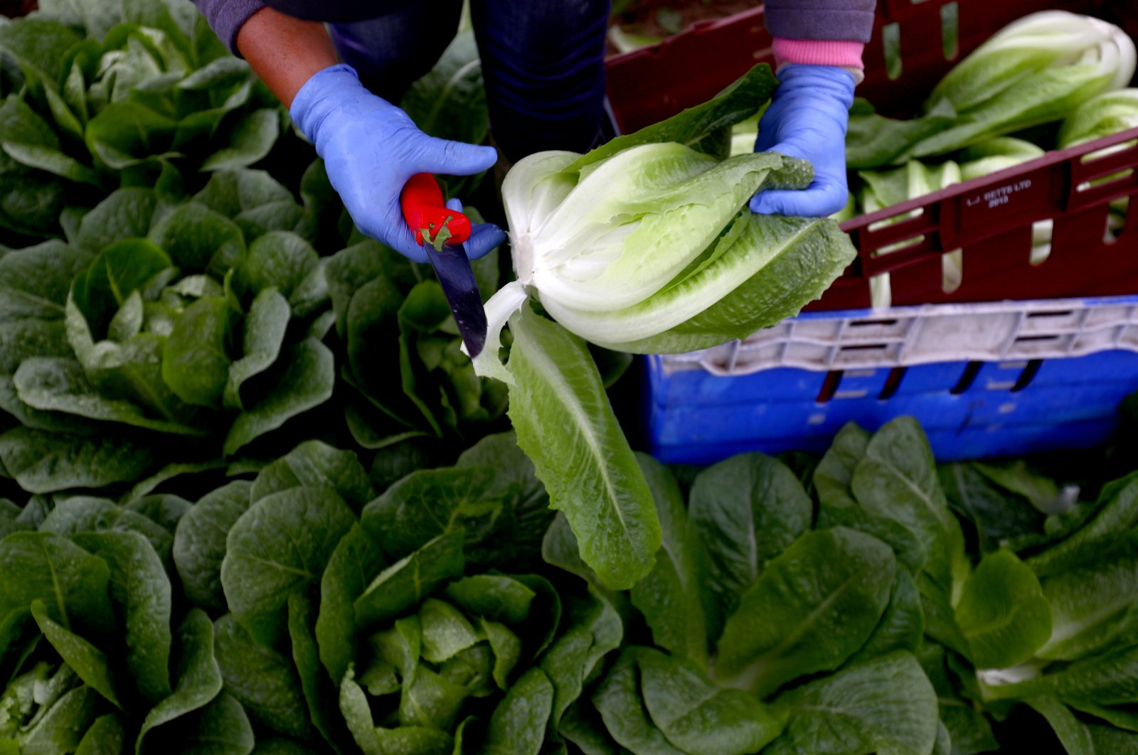 A migrant worker picks lettuce on a farm in Kent, Britain, July 24, 2017. (Reuters Photo)