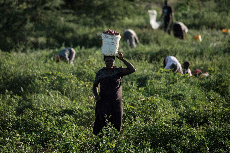 Farmers cultivate onions in a field near Kimana Sanctuary in Kimana, Kenya, March 2, 2021. (AFP Photo)