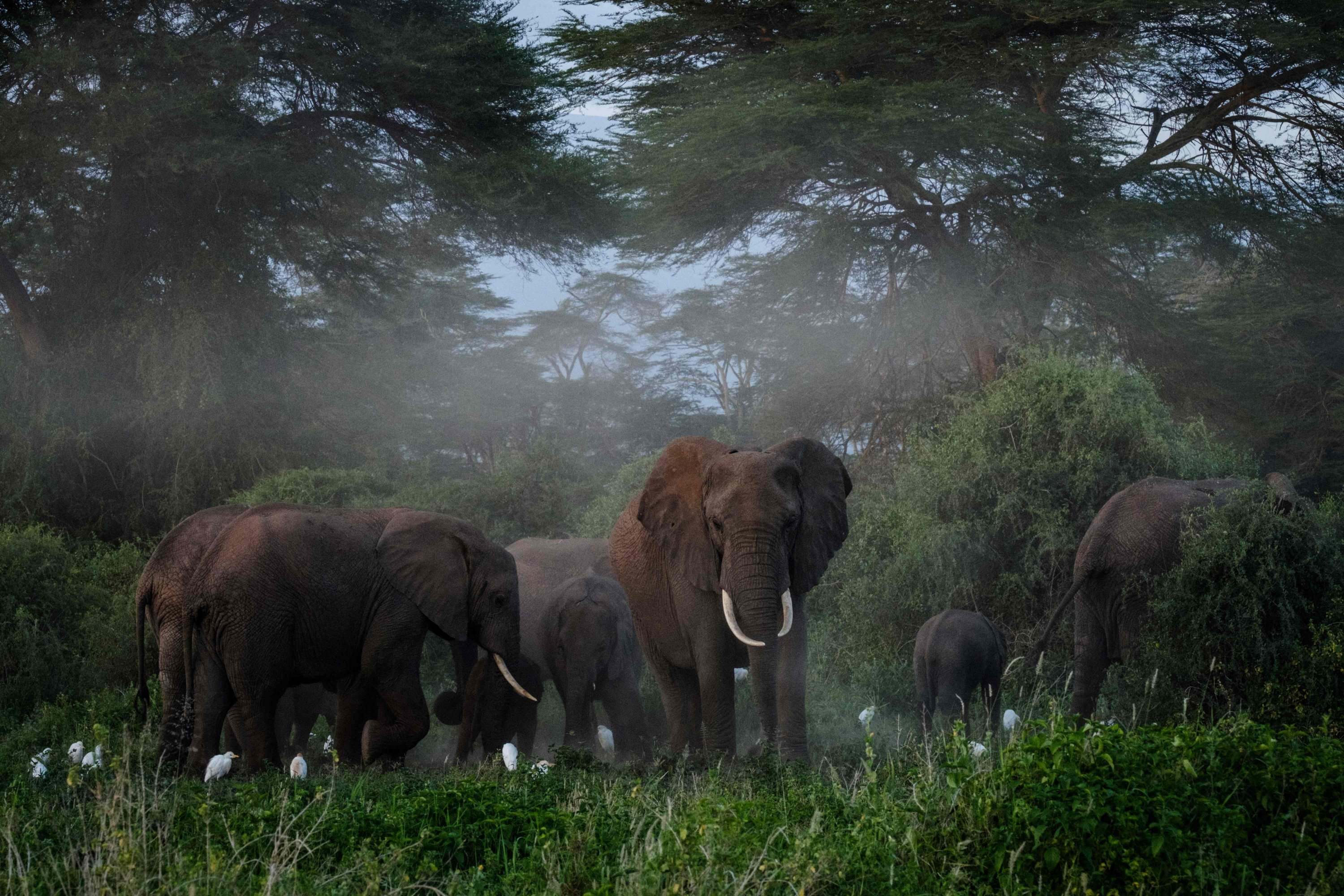 A general view of elephants grazing after spraying sand on their bodies at Kimana Sanctuary in Kimana, Kenya, March 2, 2021. (AFP Photo)