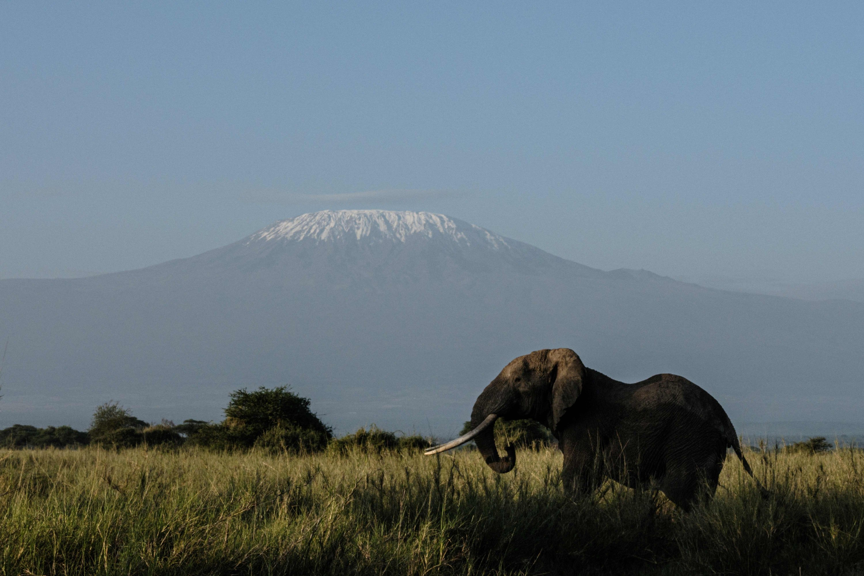 An elephant grazes with a view of Mount Kilimanjaro in the background at Kimana Sanctuary in Kimana, Kenya, March 3, 2021. (AFP Photo)