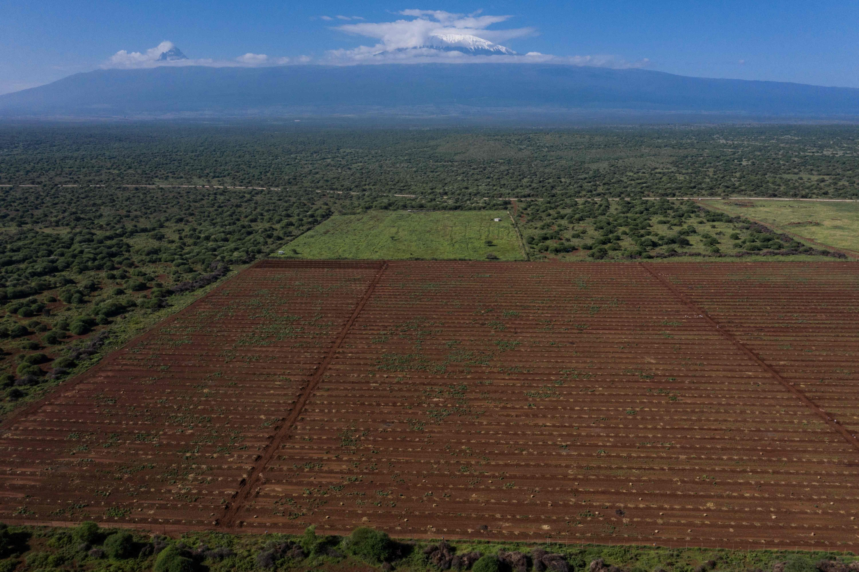 An aerial view shows  KiliAvo Fresh Ltd's young avocado tree farm with a view of Mount Kilimanjaro in Kimana, Kenya, March 2, 2021. (AFP Photo)