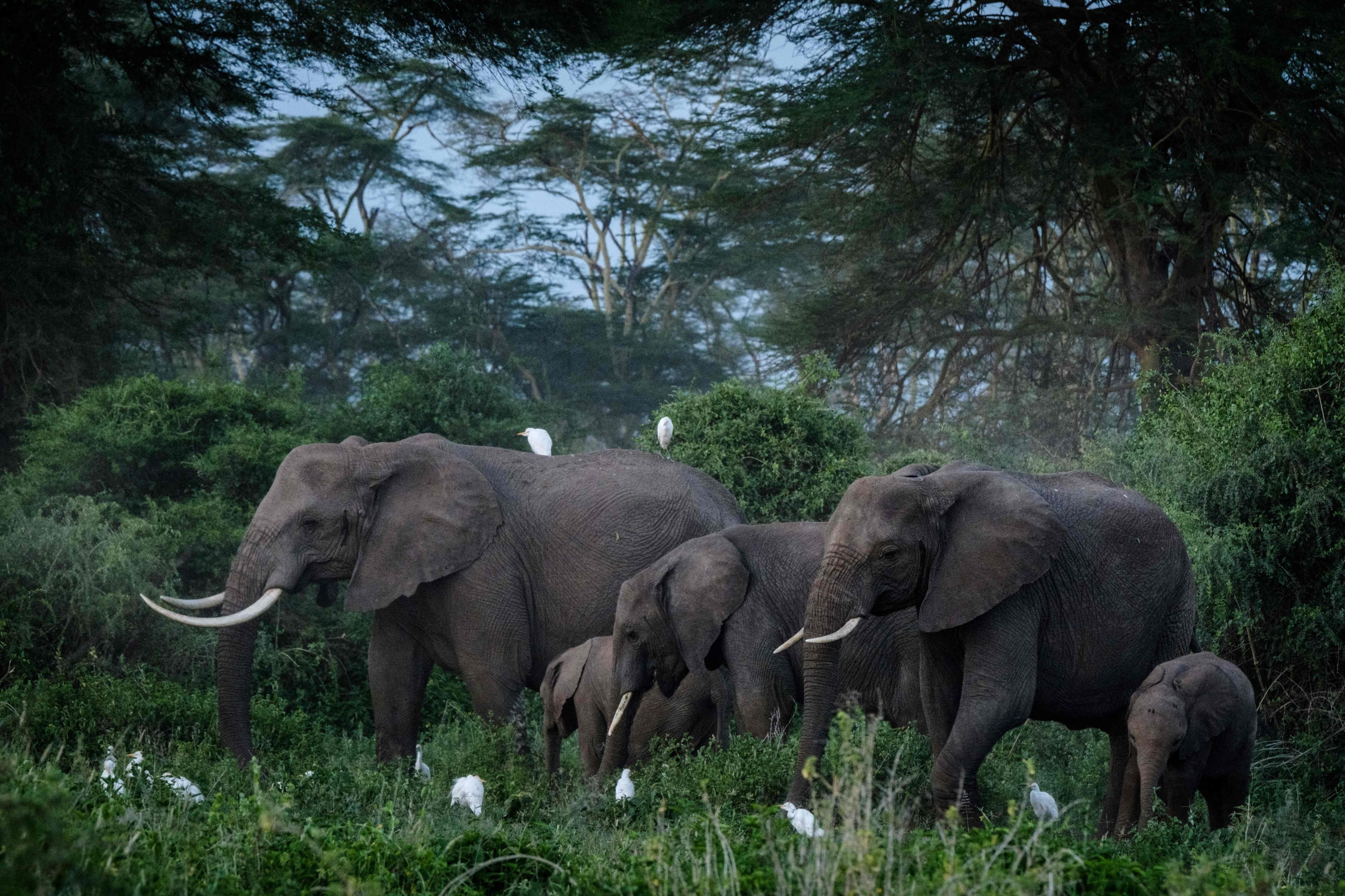 A general view of elephants grazing at Kimana Sanctuary in Kimana, Kenya, on March 2, 2021. (AFP Photo)