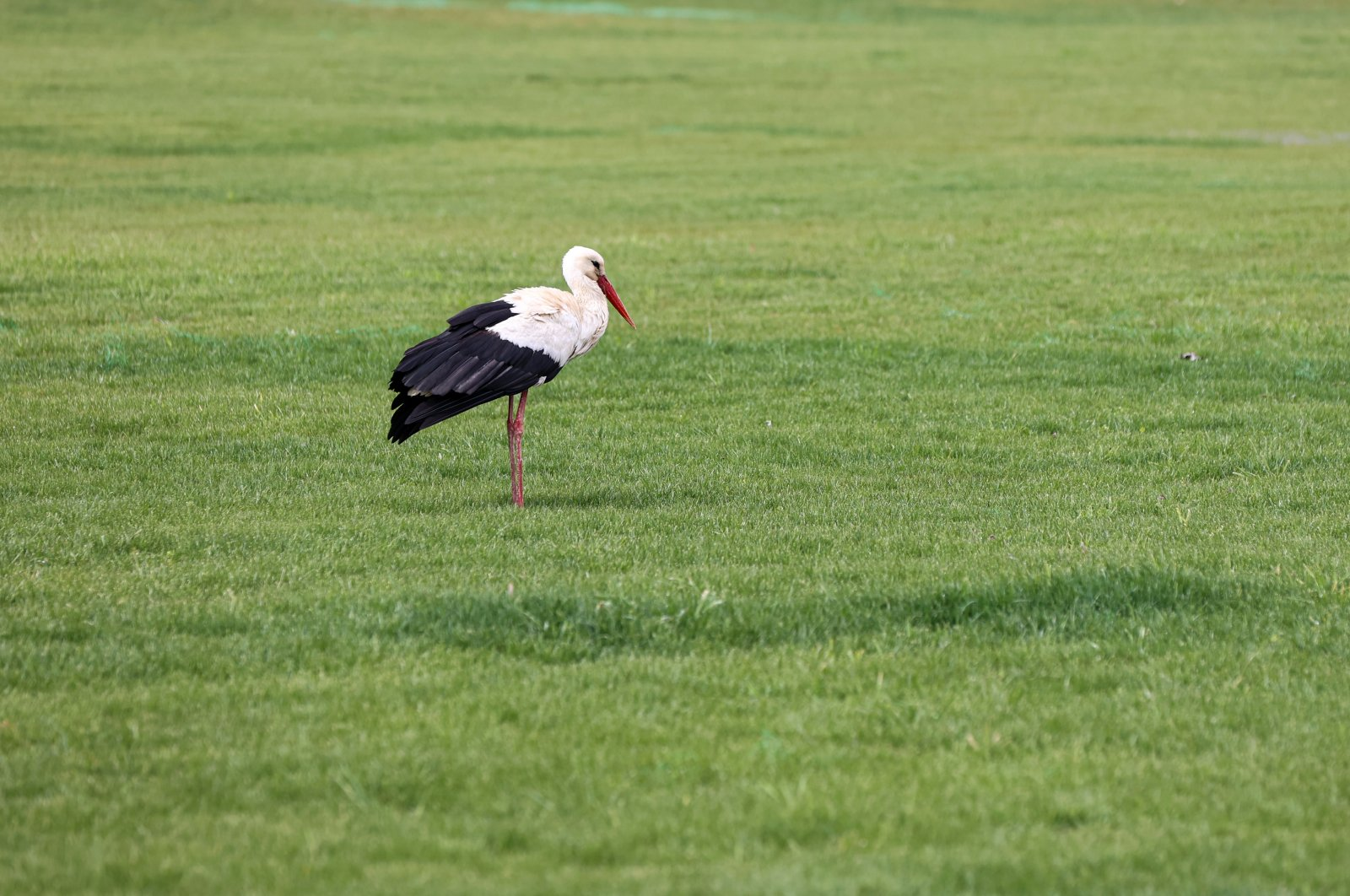 A white stork stands in a field in Istanbul, March 24, 2021. (AA Photo)