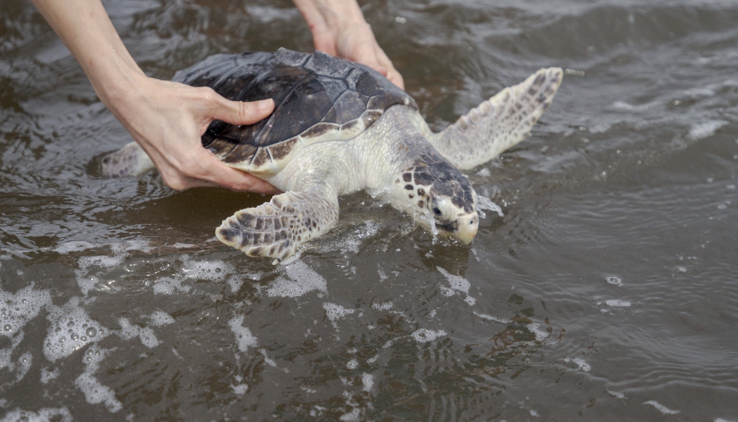 A Kemp's Ridley sea turtle is released into the Gulf of Mexico from the Grand Isle, Louisiana beach, the U.S., March 15, 2021. (The Advocate via AP)