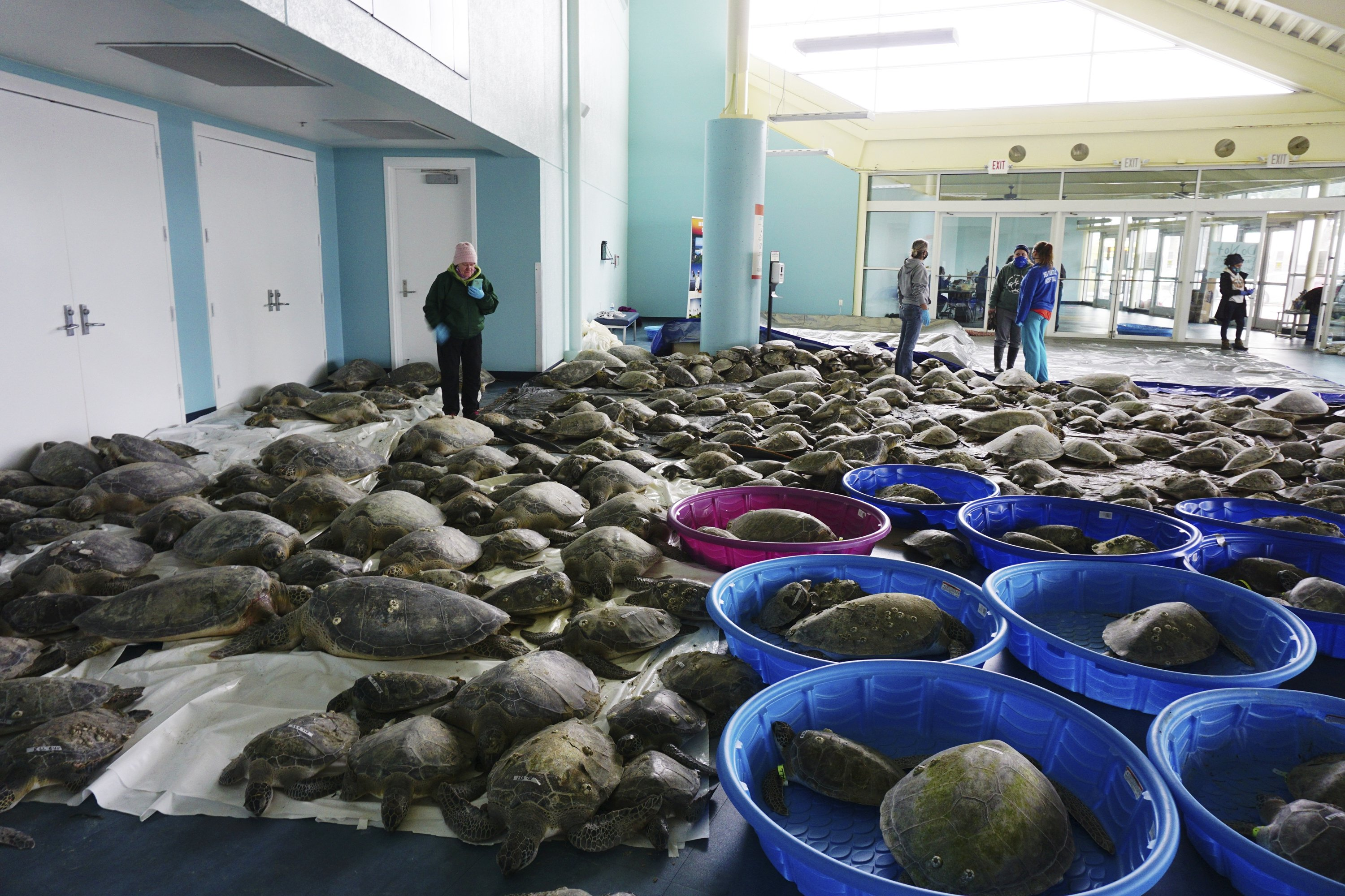 Thousands of Atlantic green sea turtles and Kemp's Ridley sea turtles suffering from cold stun are laid out to recover at the South Padre Island Convention Center on South Padre Island, Texas, the U.S., Feb. 16, 2021. (The Brownsville Herald via AP)