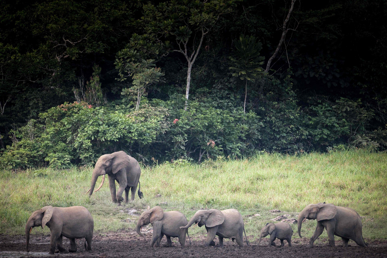 A group of forest elephants roam at Langoue Bai in Ivindo National Park, near Makokou, Gabon, April 26, 2019. (AFP Photo)