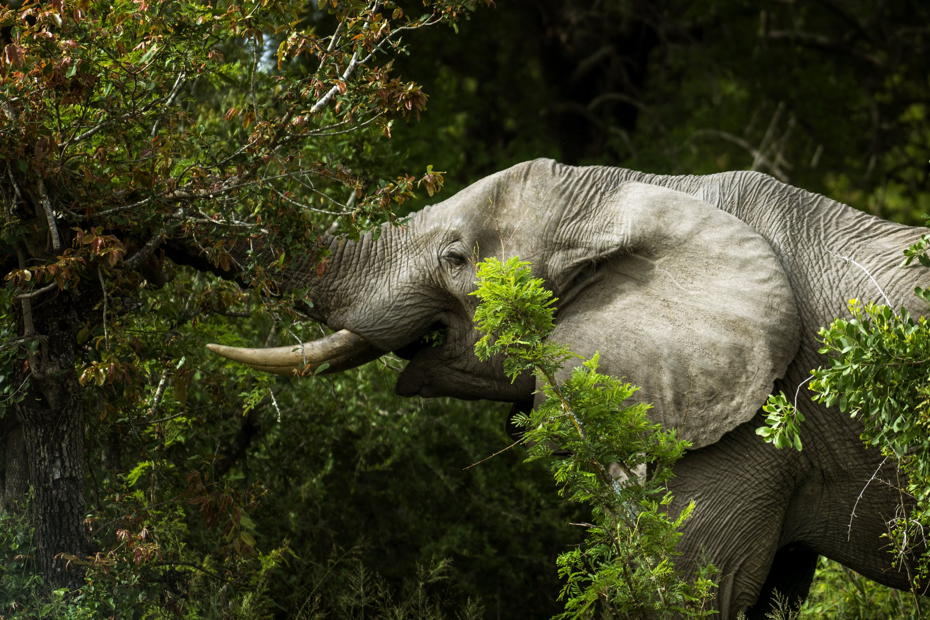 A savanna elephant eats bushes in Kruger National Park, South Africa, March 4, 2020. (AP Photo)