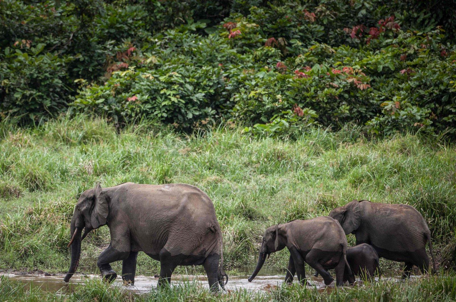 A group of forest elephants wades through water at Langoue Bai in Ivindo National Park, near Makokou, Gabon, April 26, 2019. (AFP Photo)