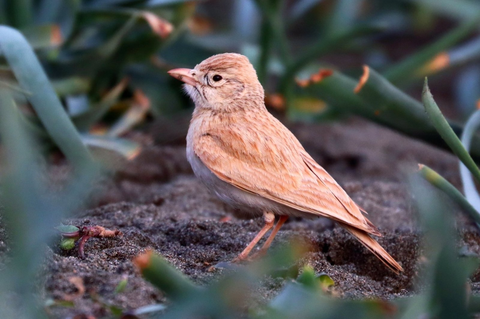 """A bar-tailed lark, also known as """"Saudi Arabian lark,"""" pictured standing, in Hatay, southern Turkey, March 27, 2021. (AA Photo)"""