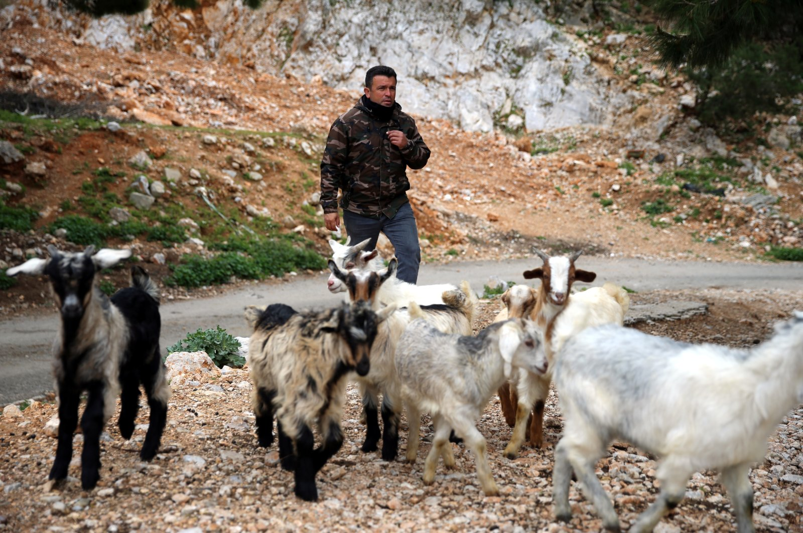 Shepherd Cemil Çoban herds his goats in Bodrum,Muğla province, western Turkey, March 28, 2021. (AA Photo)