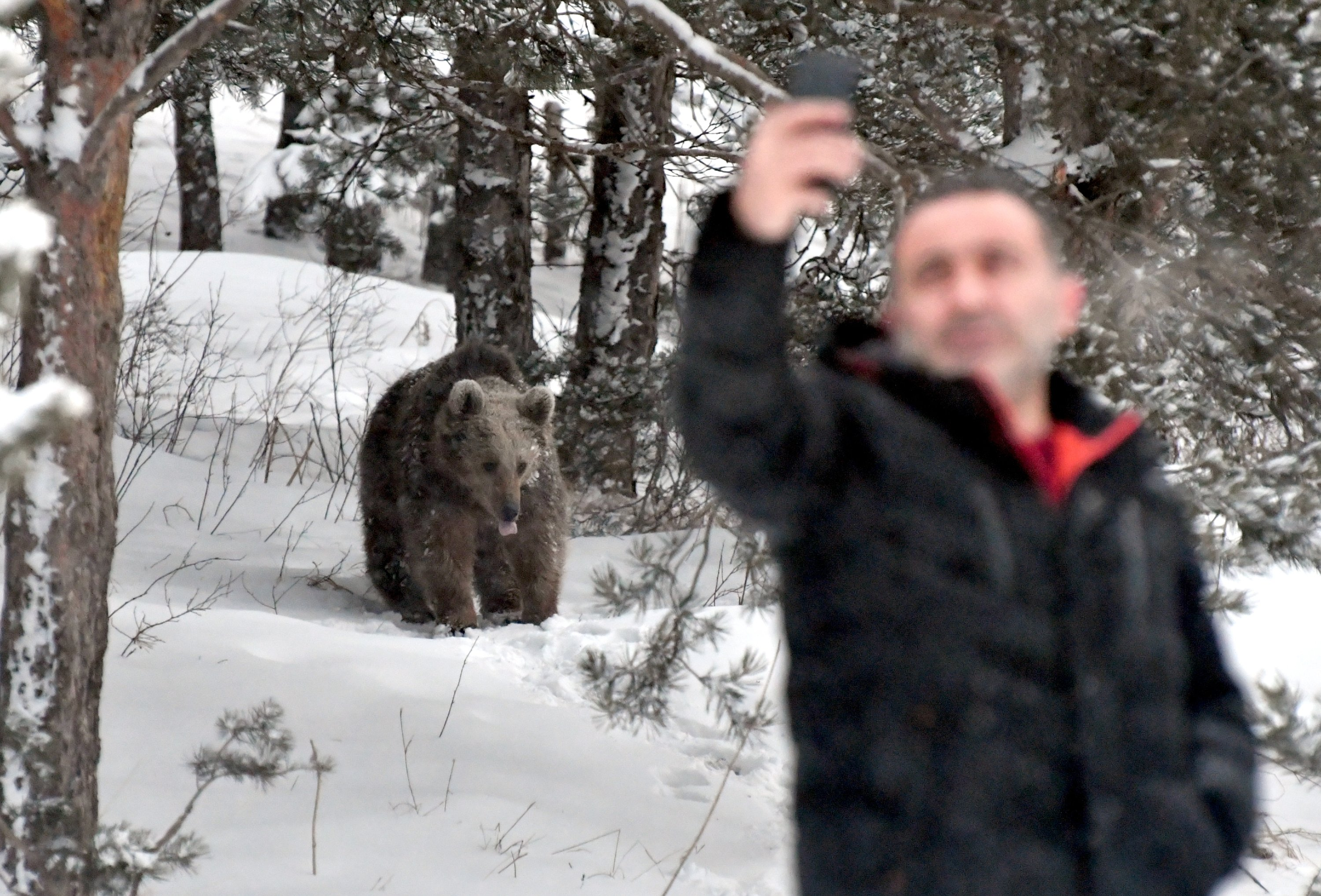 A man takes a selfie while a grizzly bear walks on grass blanketed with snow in the background in woods near Kars, northeastern Turkey, March 29, 2021. (AA Photo)