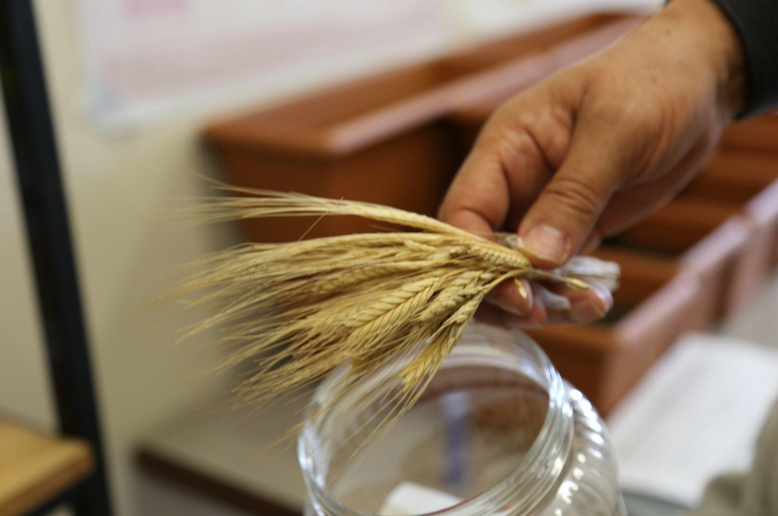 Iza wheat produced in a laboratory, in Bolu, northern Turkey, April 2, 2021. (AA PHOTO)