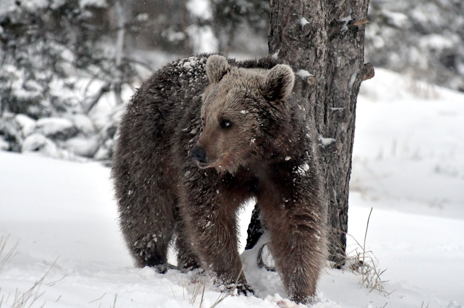 A grizzly bear walks on grass blanketed with snow in woods near Kars, northeastern Turkey, March 29, 2021. (AA Photo)