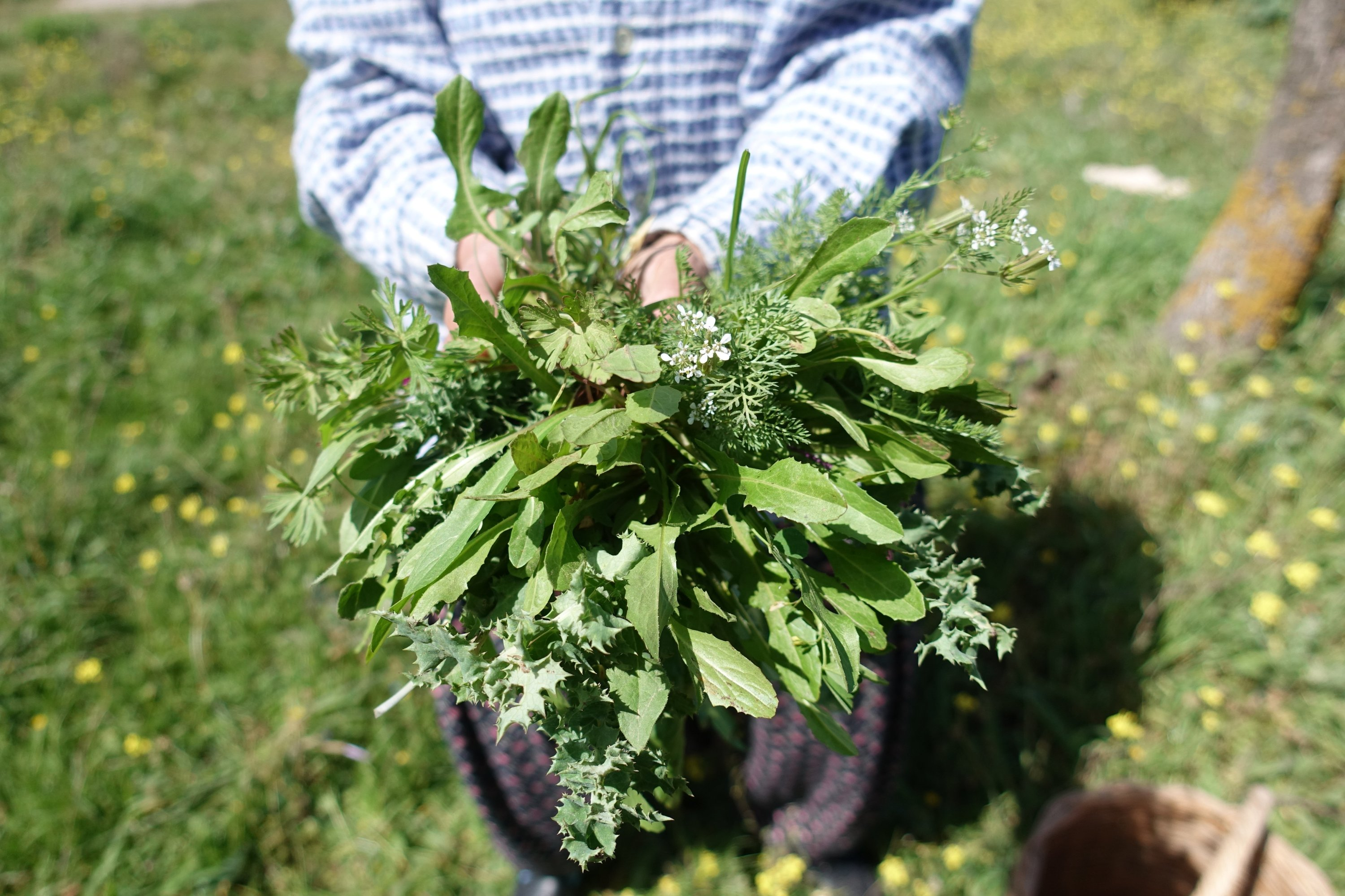 The Alaçatı Herb Festival showcases local delights such as chicory, wild radish, mustard greens, stinging nettles and şevketibostan (cnicus) among many others. (AA Photo)