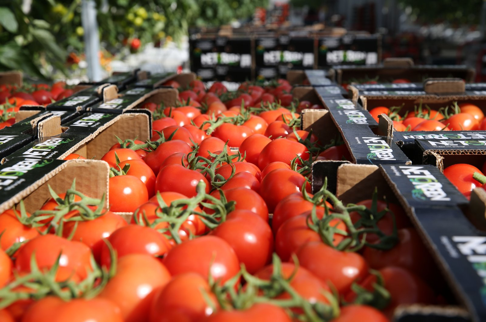 Tomatoes grown in a geothermal greenhouse being packed for delivery, Sivas, central Turkey, March 30, 2021. (AA Photo)