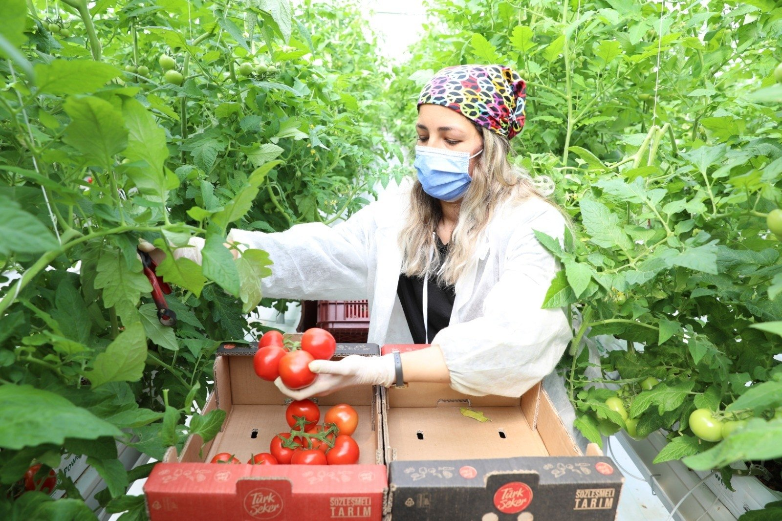 An employee collects tomatoes at a greenhouse in the capital Ankara, Turkey, April 3, 2021. (DHA Photo)