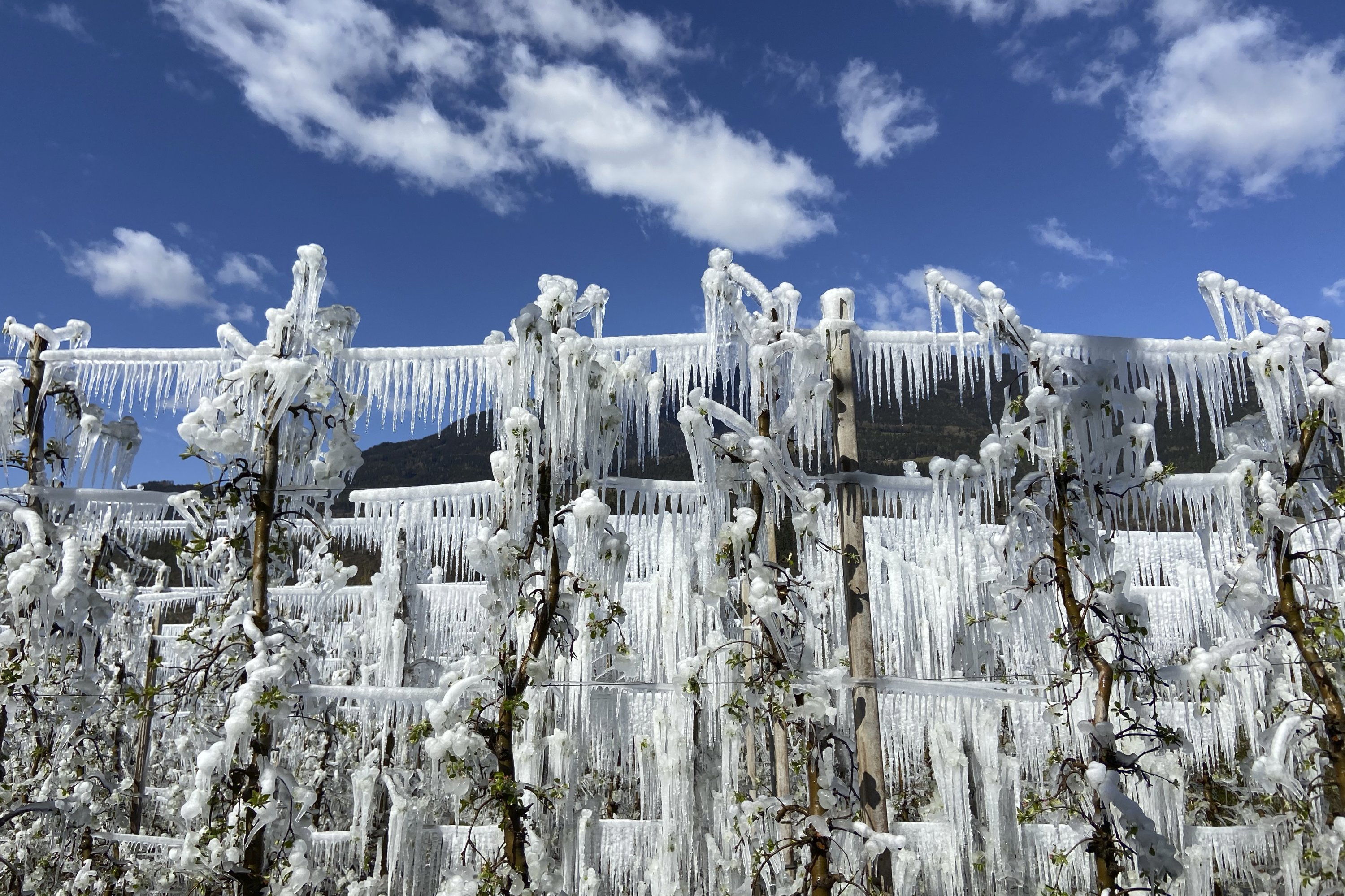 Artificially frozen apple trees covered with melting ice near Bressanone, in the northern Italian province of South Tyrol, Italy, on April 8, 2021. (AP Photo)