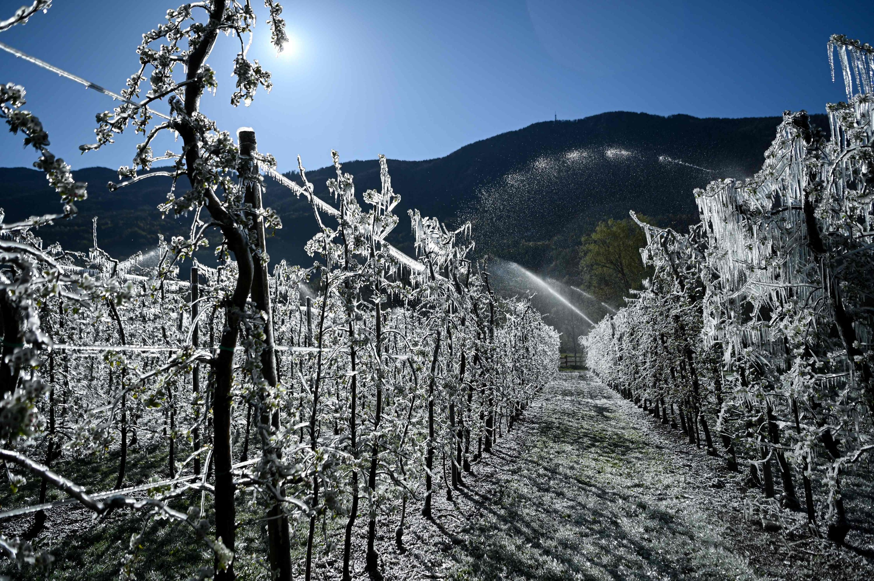 Water is sprayed over apple trees in order to create a layer of ice to protect blossoms from frost at an orchard in La Palazzetta, a village located some 100km from Milan, on April 8, 2021. (AFP Photo)