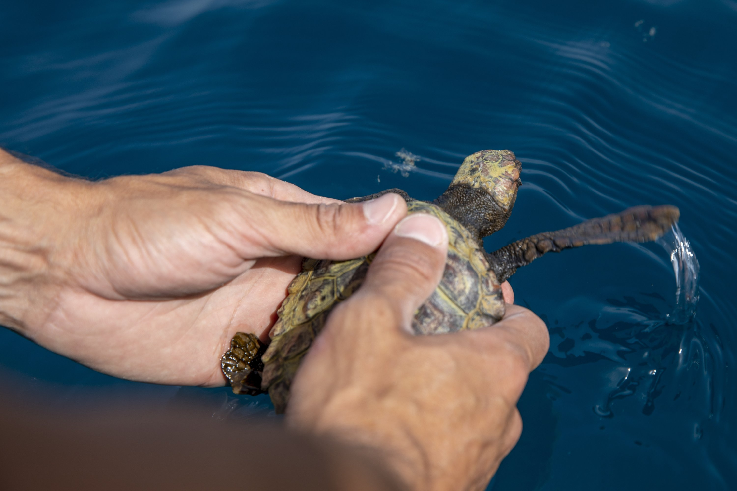 Gregory Kobzar release a 8-month-old sea turtle in the Mediterranean Sea off the coast in Michmoret, Israel, on Apr. 7, 2021. (AP Photo)