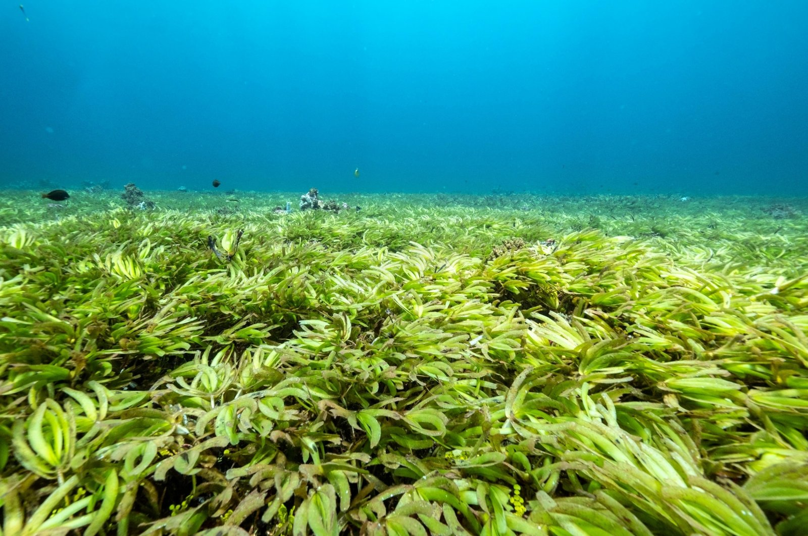 Seagrass in the Indian Ocean above the world's largest seagrass meadow and one of the biggest carbon sinks in the high seas, at the Saya de Malha Bank within the Mascarene plateau, Mauritius, March 20, 2021. (Tommy Trenchard/Greenpeace/Handout via Reuters)