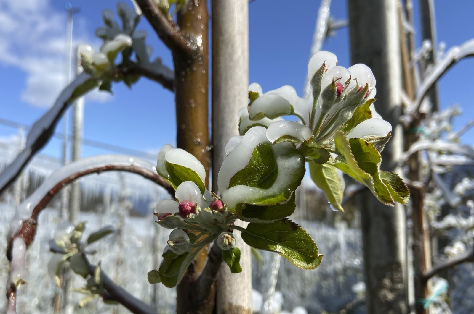Artificially frozen apple trees covered with melting ice against the blue sky near Bressanone, in northern Italian province of South Tyrol, Italy, on April 8, 2021. (AP Photo)