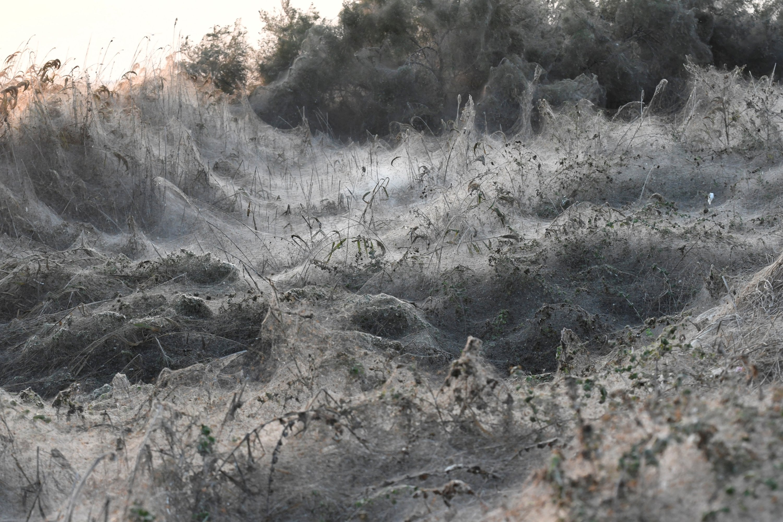 Spiderwebs blanket shrubs at the banks of Lake Vistonida, Greece, Oct. 19, 2018. (Reuters Photo)