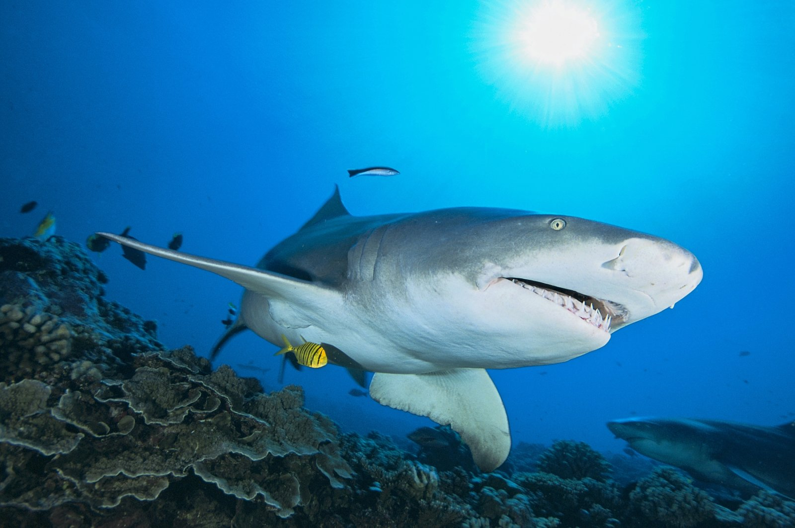 The sicklefin lemon shark, also called the sharptooth lemon shark, has a robust, stocky body and a short, broad head. Like the prehistoric Hoffman's Dragon Shark, this species also favors shallows and lives in murky, still waters, it is most commonly found in bays, estuaries, and lagoons, and over sandy flats and outer reefs, Moorea, French Polynesia, Pacific Ocean, Jan. 21, 2021. (Getty Images)