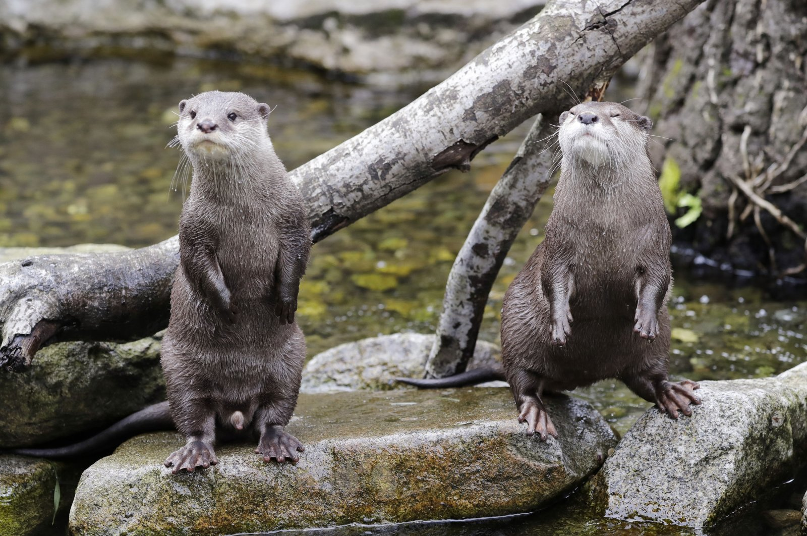 Asian small-clawed otters wait for their lunch at the Woodland Park Zoo, closed for nearly three months because of the coronavirus outbreak, in Seattle, Washington, U.S., May 26, 2020. (AP Photo)