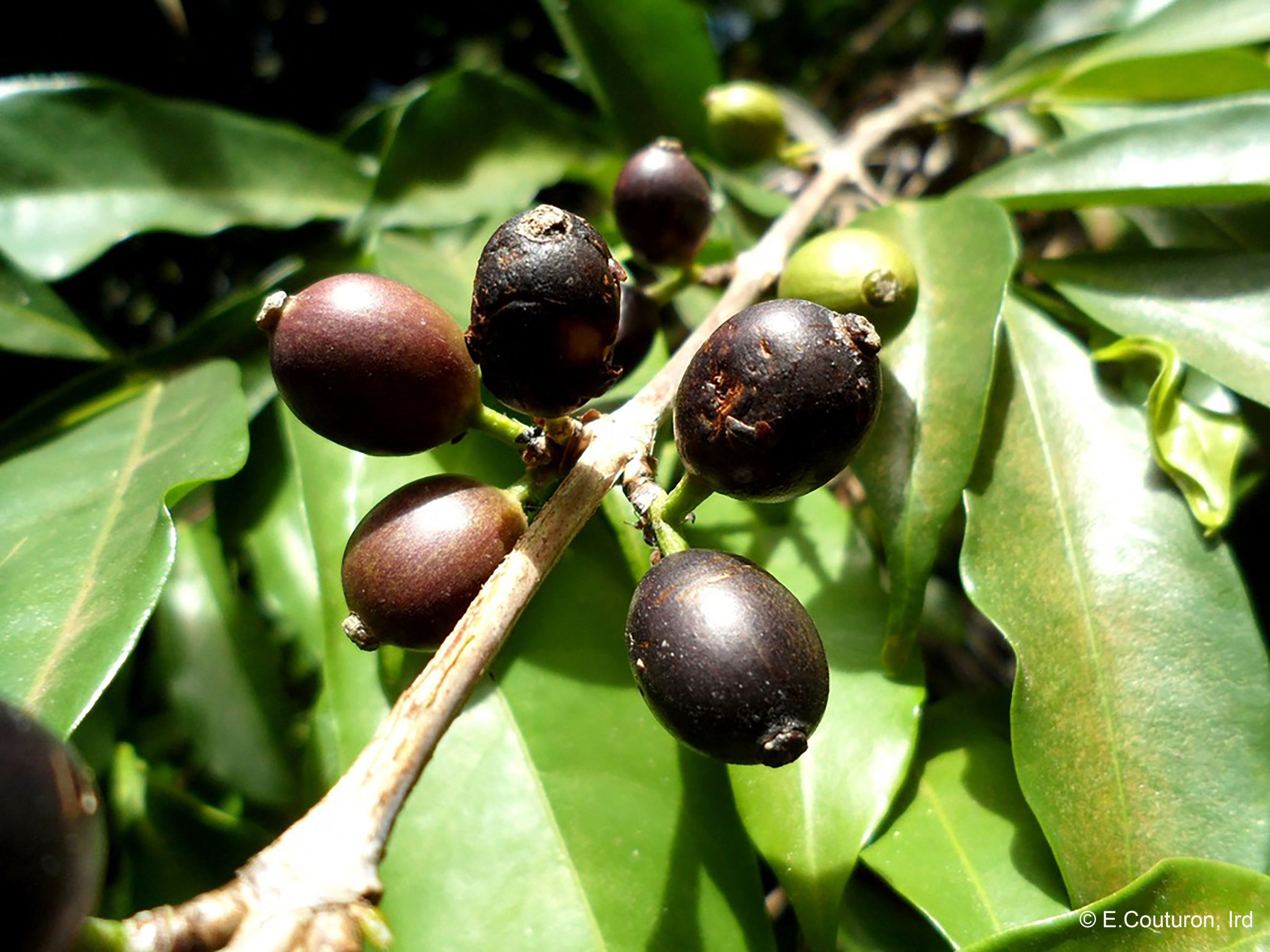This handout photograph released by IRD on April 19, 2021, shows Coffea stenophylla plants at an undisclosed location in Ivory Coast on August 24, 2013. (Photo by E. COUTURON/IRD via AFP)