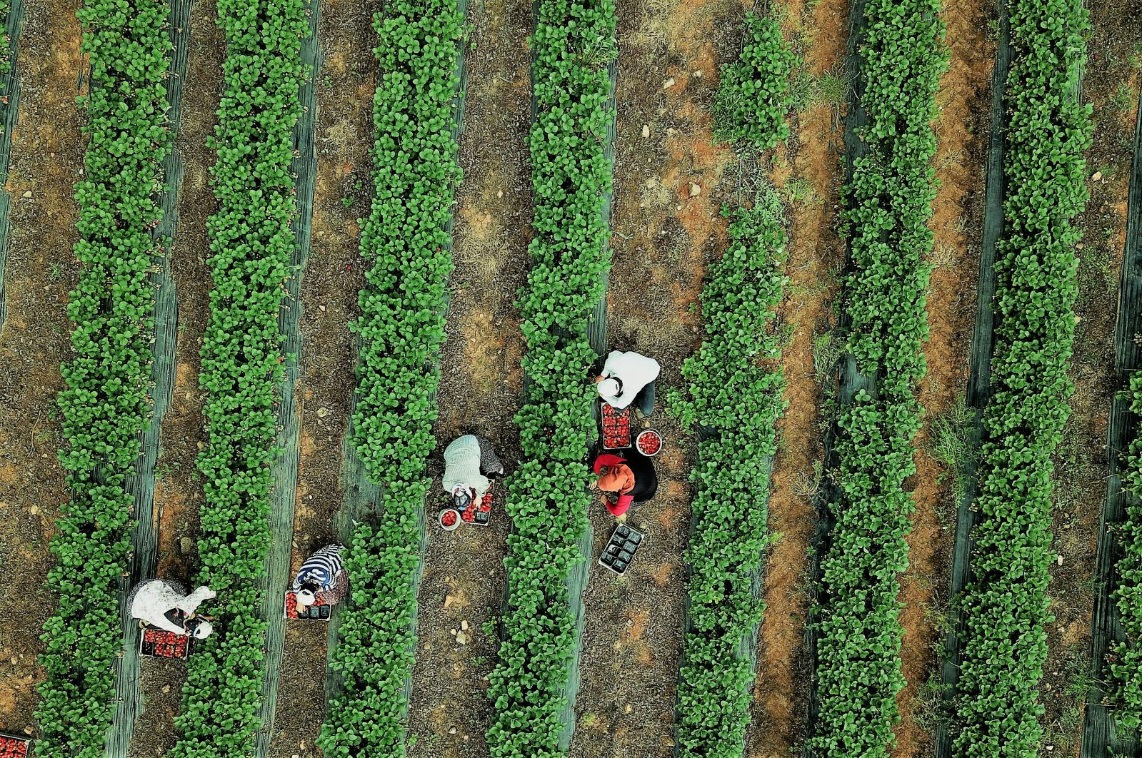 Farmers are seen in the Türkoğlu district of the southern province ofKahramanmaraş, Turkey, May 27, 2020. (AA Photo)