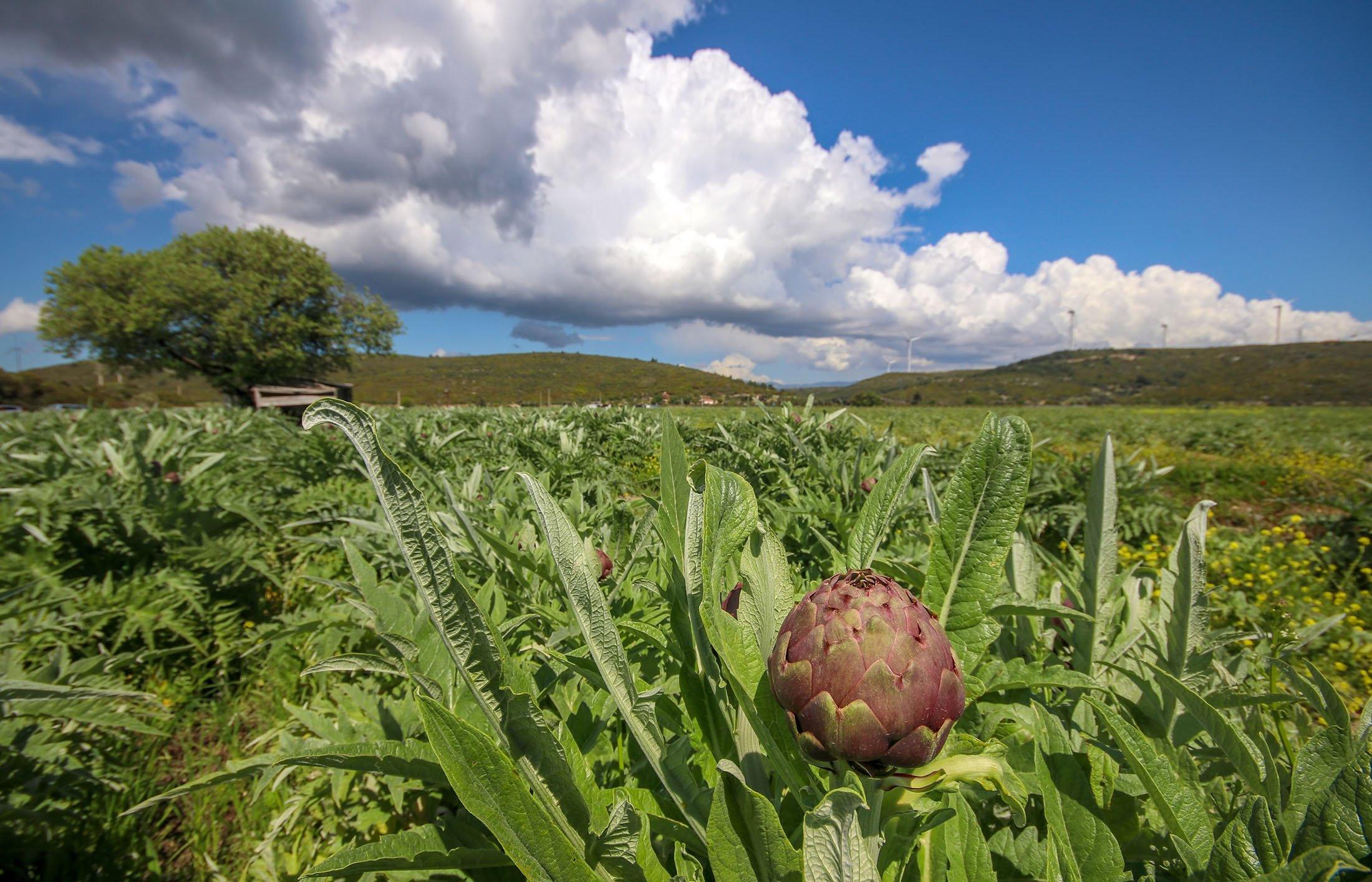 An artichoke field in Izmir, western Turkey. (Shutterstock Photo)