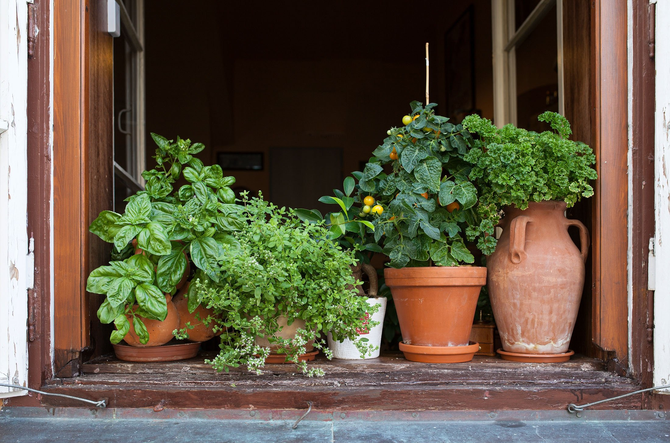 If you are not blessed with a backyard, try growing herbs in potted plants by a windowsill.  (Shutterstock Photo)