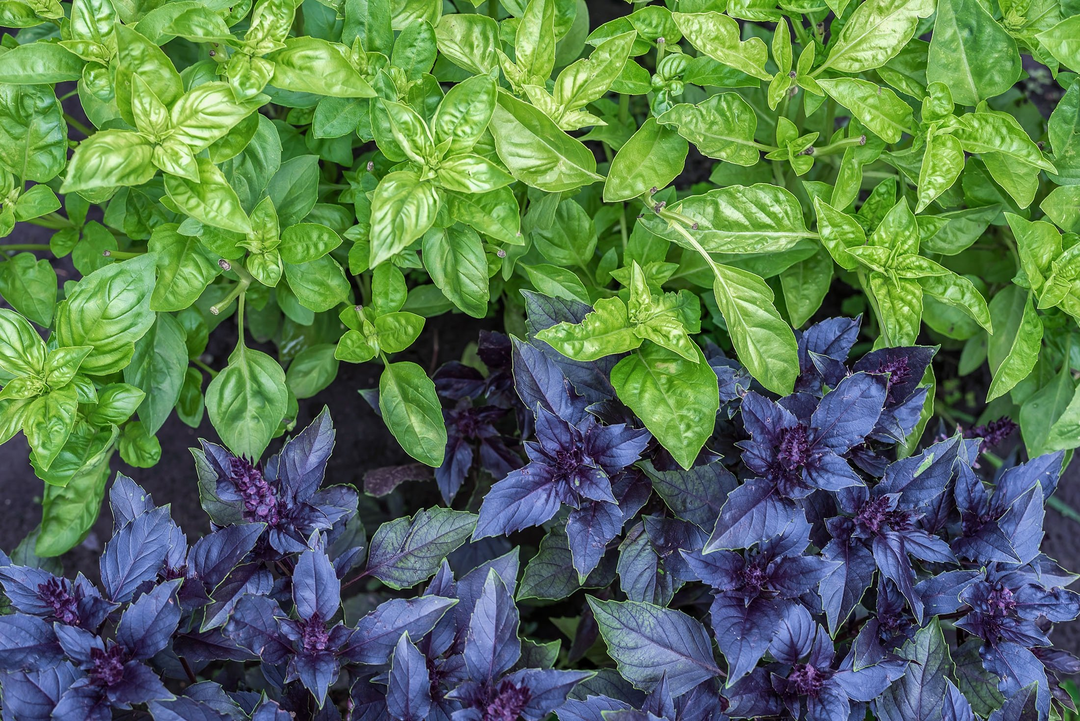 Although the big green-leafed kind of basil is hard to find in Turkey, 'reyhan' or purple basil abounds. (Shutterstock Photo)