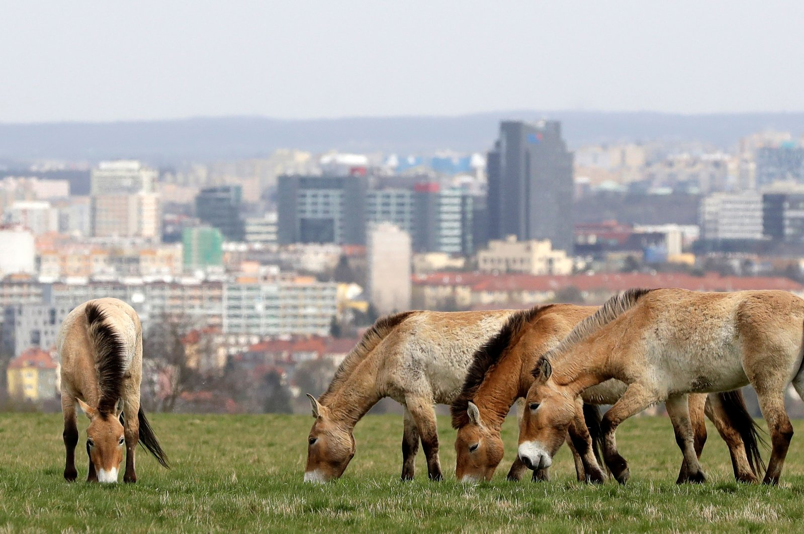 A herd of endangered Przewalski's horses grazes on a meadow inside of a breeding enclosure in Prague, Czech Republic, April 22, 2021. (REUTERS Photo)