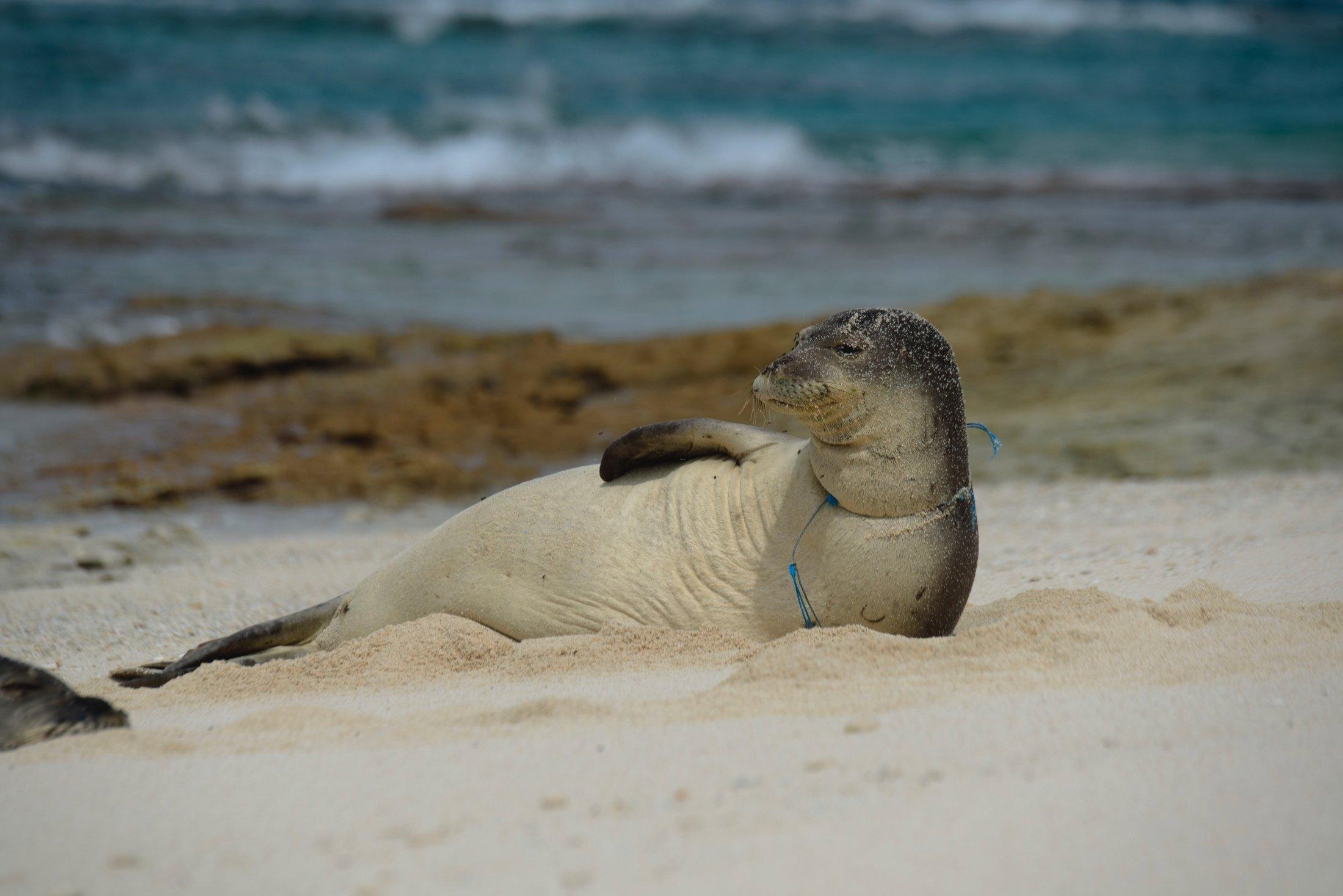 A female endangered Hawaiian monk seal is entangled in derelict fishing gear on the shores of Laysan Island in the Northwestern Hawaiian Islands, Hawaii, April 3, 2021. (Papahanaumokuakea Marine Debris Project via AP)