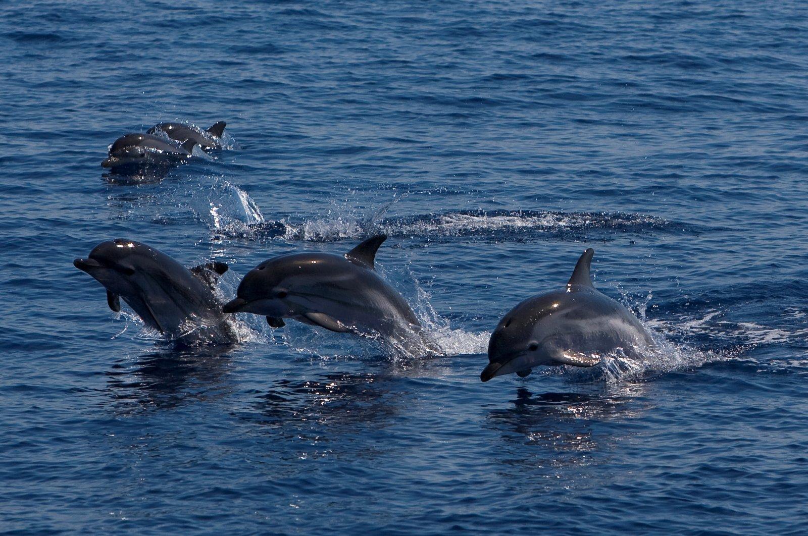 A group of dolphins swim near Capraia island in the Tyrrhenian Sea, Tuscany, Italy. (Getty Images)
