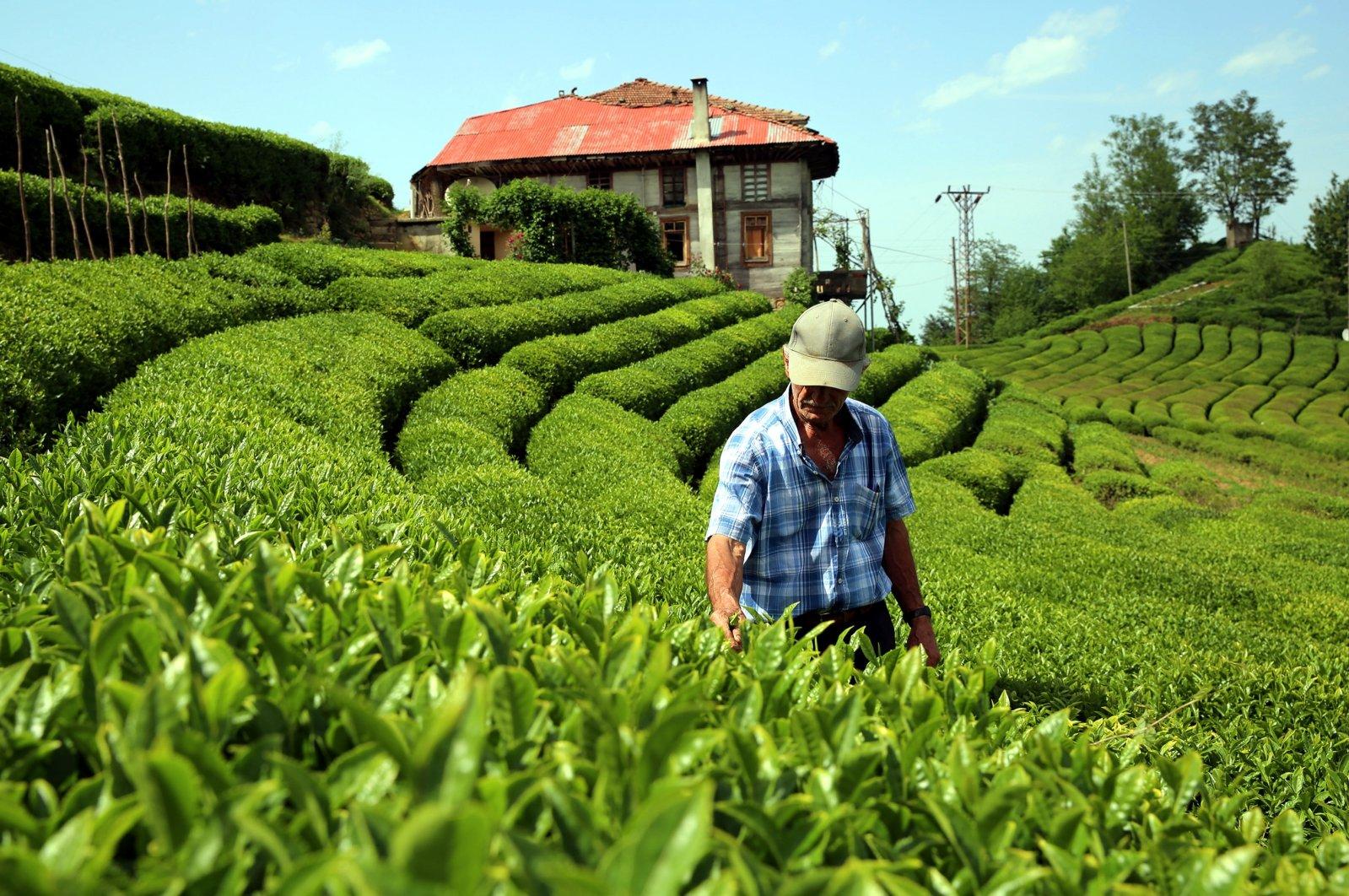 In this undated photo, a farmer walks in tea fields in the eastern Black Sea region, Turkey. (DHA Photo)