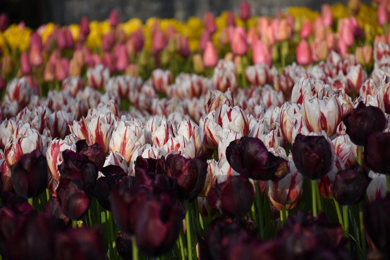 Tulips in Emirgan Grove, Istanbul, Turkey, April 28, 2021. (AA Photo)